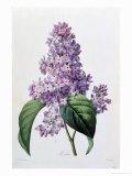 Lilacs Giclee Print by Pierre-Joseph Redouté