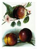 Study of Nectarines Giclee Print