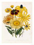 Elekia Speciosa, Inula Glandiosa, Silphuim Trifoliatum Giclee Print