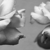Rose Petals I Photo by Nicole Katano