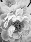 Delicate Blossom III Photo by Nicole Katano