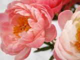 Delicate Blossom II Poster by Nicole Katano