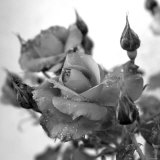 Rose Buds Photo by Nicole Katano
