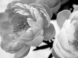 Delicate Blossom Print by Nicole Katano