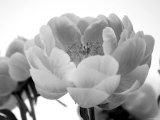Delicate Blossom I Prints by Nicole Katano