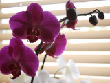 Purple Orchids II Prints by Nicole Katano