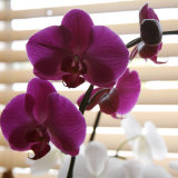 Purple Orchids I Prints by Nicole Katano