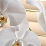 White Orchids I Photo by Nicole Katano