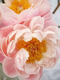 Delicate Blossom III Prints by Nicole Katano