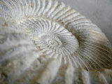 Fossil Shells II Prints by Nicole Katano