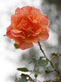 Peach Rose Photo by Nicole Katano