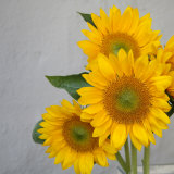 Sunflower Bouquet Prints by Nicole Katano