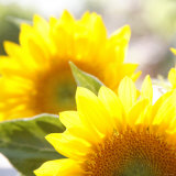Sunflower Photo by Nicole Katano