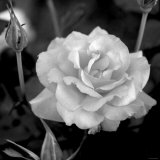 Sweet Rose I Photo by Nicole Katano