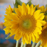 Sunny Sunflower I Photo by Nicole Katano