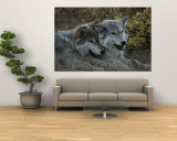 Two Gray Wolves, Canis Lupus, Rest after Playing with a Stick Wall Mural by Jim And Jamie Dutcher