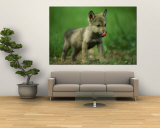 A Gray Wolf Cub Licks His Nose Wall Mural by Joel Sartore