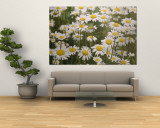 View of a Field of Daisies Wall Mural by Paul Zahl