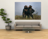 A Pair of Orphan Chimpanzees Wall Mural by Michael Nichols