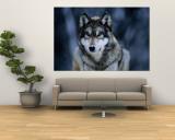 Lobo gris en el Centro Internacional de lobos cerca de Ely Mural por Joel Sartore