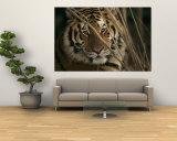 A Captive Tiger Shows a Formidable Expression Vægplakat