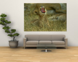 A Small Lion Cub Raises its Head into the Air and Yawns Wall Mural by Beverly Joubert