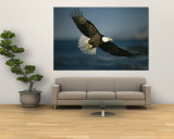 An American bald eagle in flight. Reproduction murale géante
