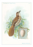 Brown Thrasher, Songbird, Art Print
