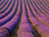 Orderly Rows of Lavender, Provence Region, France Photographic Print by Jim Zuckerman