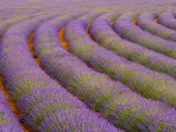 Curved Rows of Lavender near the Village of Sault, Provence, France Photographic Print by Jim Zuckerman