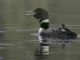 Common Loon Calling with Chick Riding on Back in Water, Kamloops, British Columbia, Canada Papier Photo par Arthur Morris