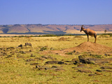 Topi Overlooking Landscape, Kenya Photographic Print by Joe Restuccia III