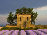 Field of Lavender and Abandoned Structure near the Village of Sault, Provence, France Photographic Print by Jim Zuckerman