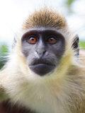 Green Ververt Monkey, St. Kitts, Caribbean Photographic Print by Greg Johnston
