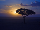 Early Sunrise on Vulture Gliding in Silhouetted Tree of the Maasai Mara, Kenya Photographic Print by Joe Restuccia III