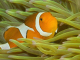 False Clown Anemonefish, Raja Ampat Region of Papua, Indonesia Photographic Print by Stuart Westmoreland