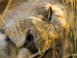 Male Lion in the Late Afternoon, Maasai Mara, Kenya Stampa fotografica di Joe Restuccia III