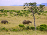African Elephant Grazing in the Fields, Maasai Mara, Kenya Photographic Print by Joe Restuccia III
