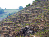 Terraced Vineyards in the Cote Rotie District, Rhone, France Lámina fotográfica por Per Karlsson