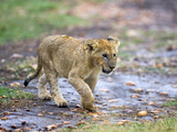 Lion Cub Walking in the Bush, Maasai Mara, Kenya Photographic Print by Joe Restuccia III