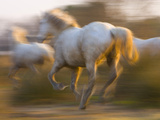White Camargue Horses Running, Provence, France Photographic Print by Jim Zuckerman