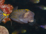 Spotted Boxfish, Banda Sea, Indonesia Photographic Print by Stuart Westmoreland