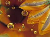 Petals on Mylar Surface with Dew Drops Photographic Print by Nancy Rotenberg