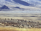 Sheep and Goats in the Valley of the Yellow Lake, Golden Eagle Festival, Mongolia Photographic Print by Amos Nachoum