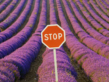 Rows of Lavender and Stop Sign, Provence, France Photographic Print by Jim Zuckerman