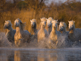 White Camargue Horse Running in Water, Provence, France Fotografie-Druck von Jim Zuckerman