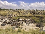 Grazing Zebras and Wildebeest Staged for the Crossing, Kenya Photographic Print by Joe Restuccia III