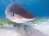 Tiger Sharks, Northern Bahamas Photographic Print by Stuart Westmoreland