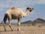Camel Near Stuart Highway, Outback, Northern Territory, Australia Photographic Print by David Wall