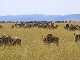 Wildebeest in the Maasai Mara, Kenya Photographic Print by Joe Restuccia III